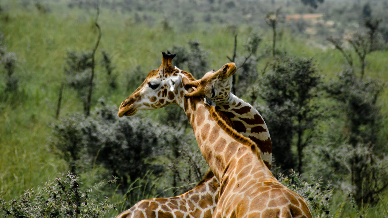 cute animals love photography giraffe by javier garcia