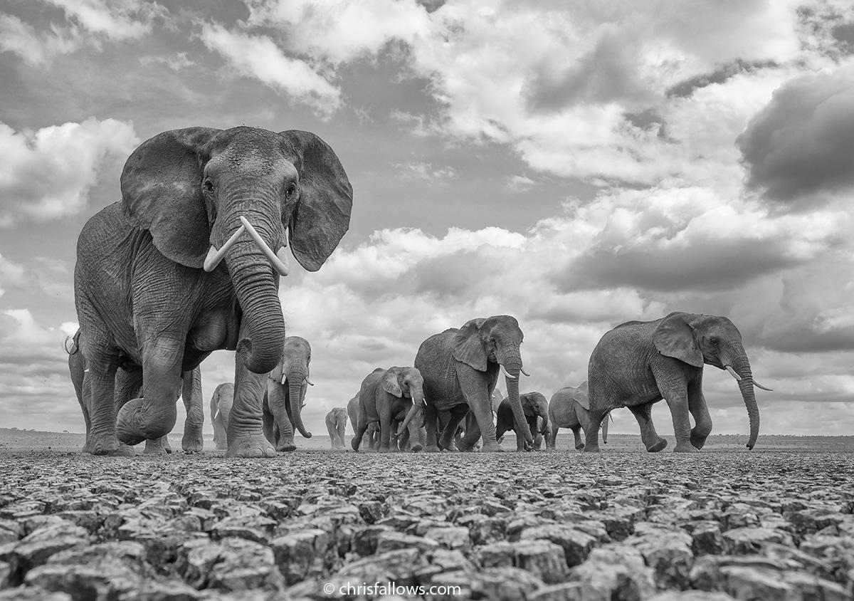 wildlife elephant by chris fallows