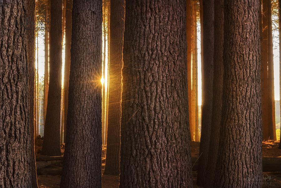 sugarpine laurelhill photography by william patino