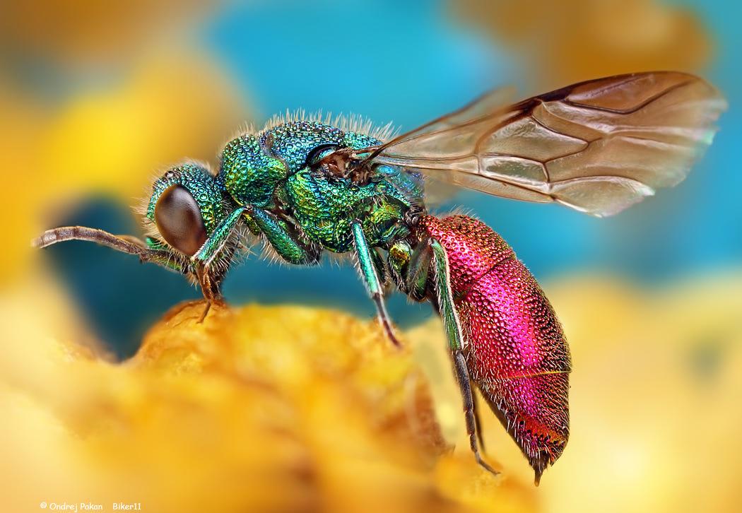 macro photography bee by ondrej pakan