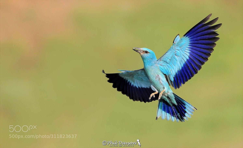 bird photography european roller by phil davson