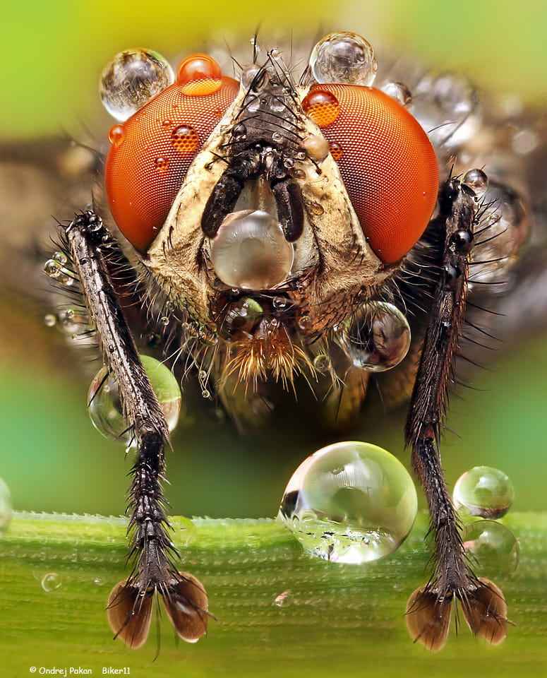 macro photography insect by ondrej pakan