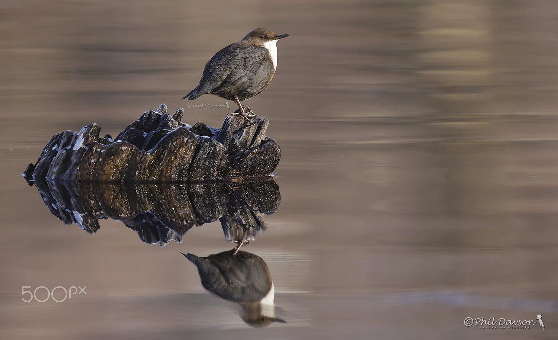 bird photography merlo acuaiolo by phil davson