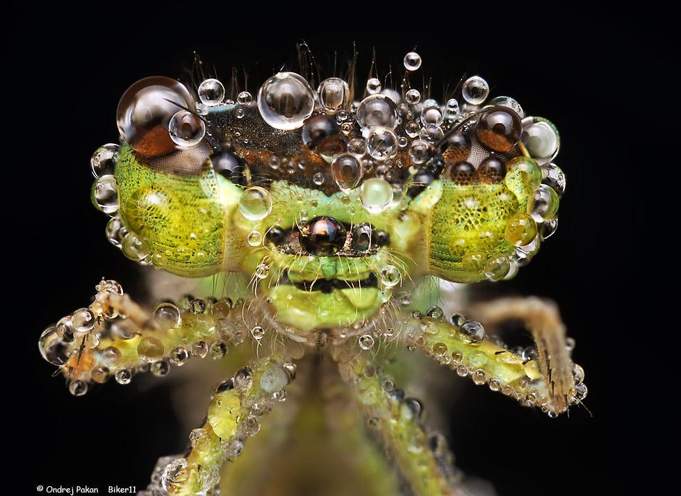 macro photography dragon fly by ondrej pakan