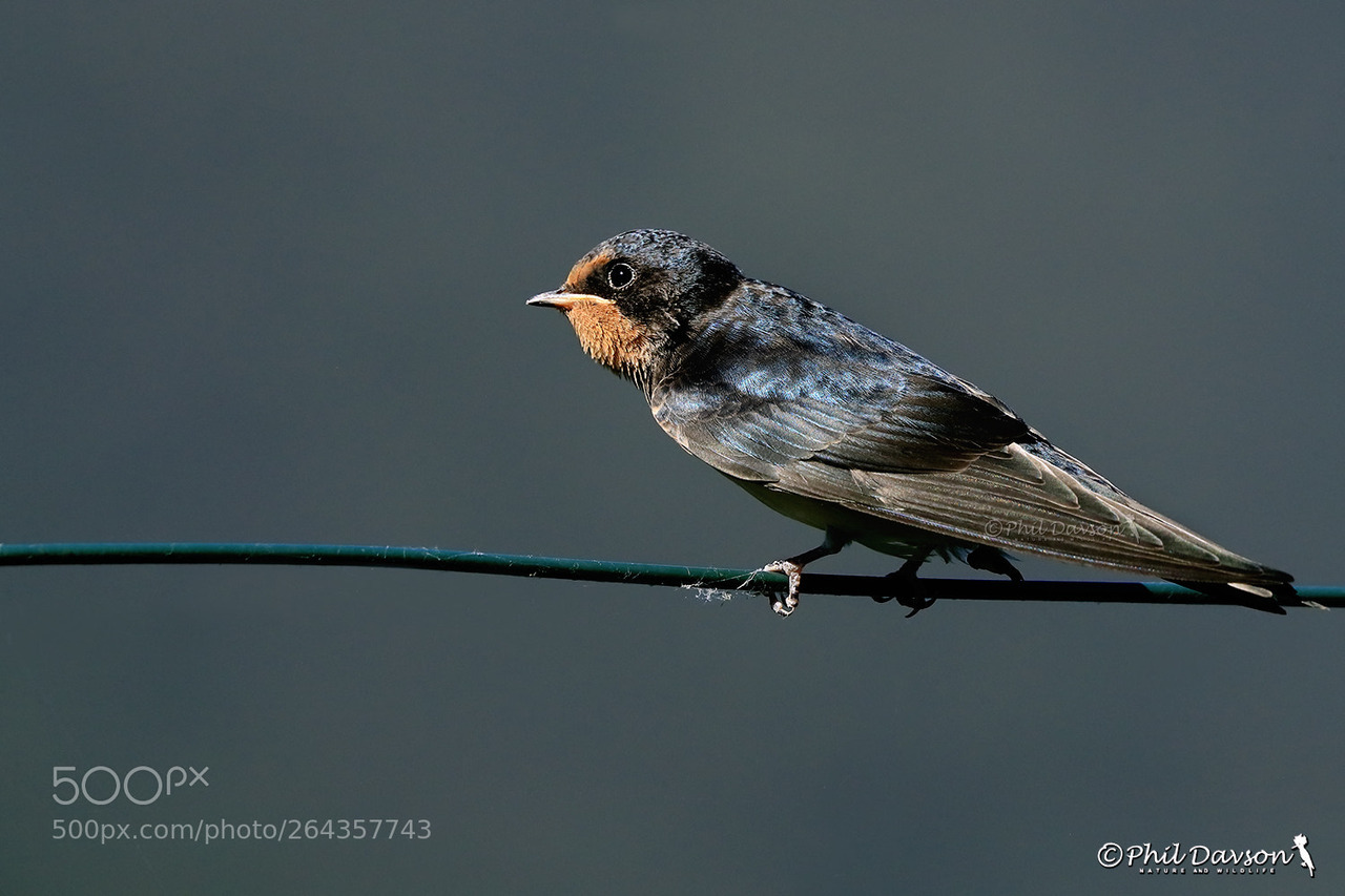 bird photography young swallow by phil davson