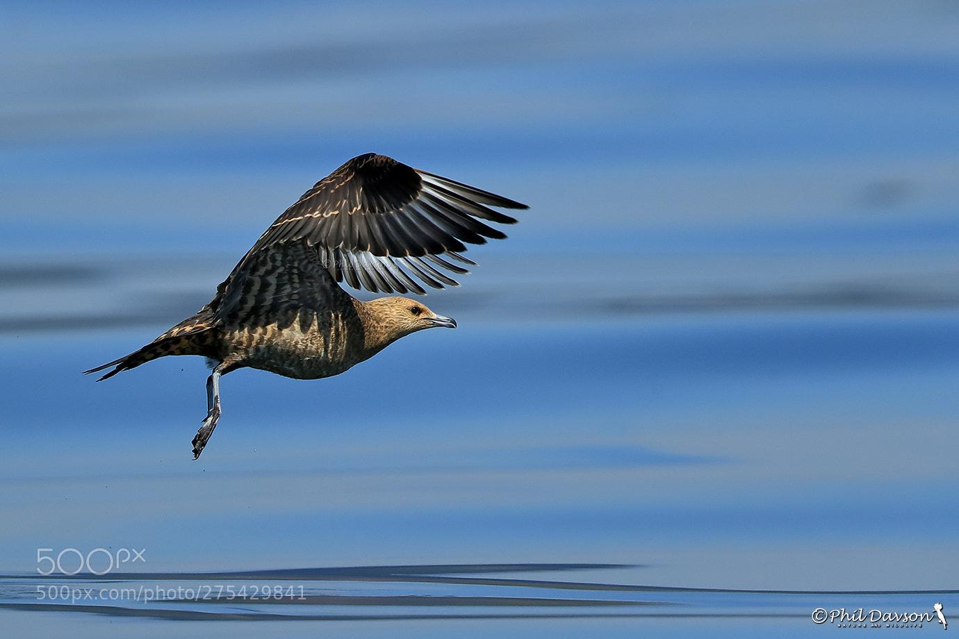 bird photography artic skua by phil davson