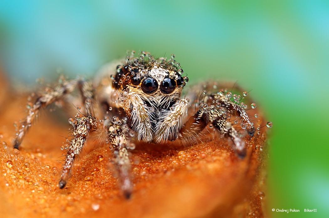 macro photography spider by ondrej pakan