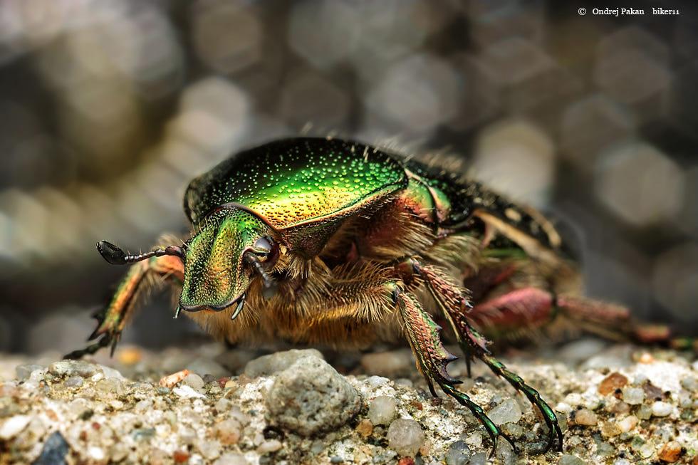macro photography jewel beetles by ondrej pakan