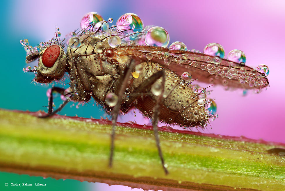 macro photography fly insect by ondrej pakan