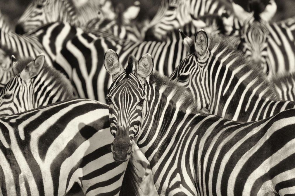 wildlife photography zebra paul joynson hicks
