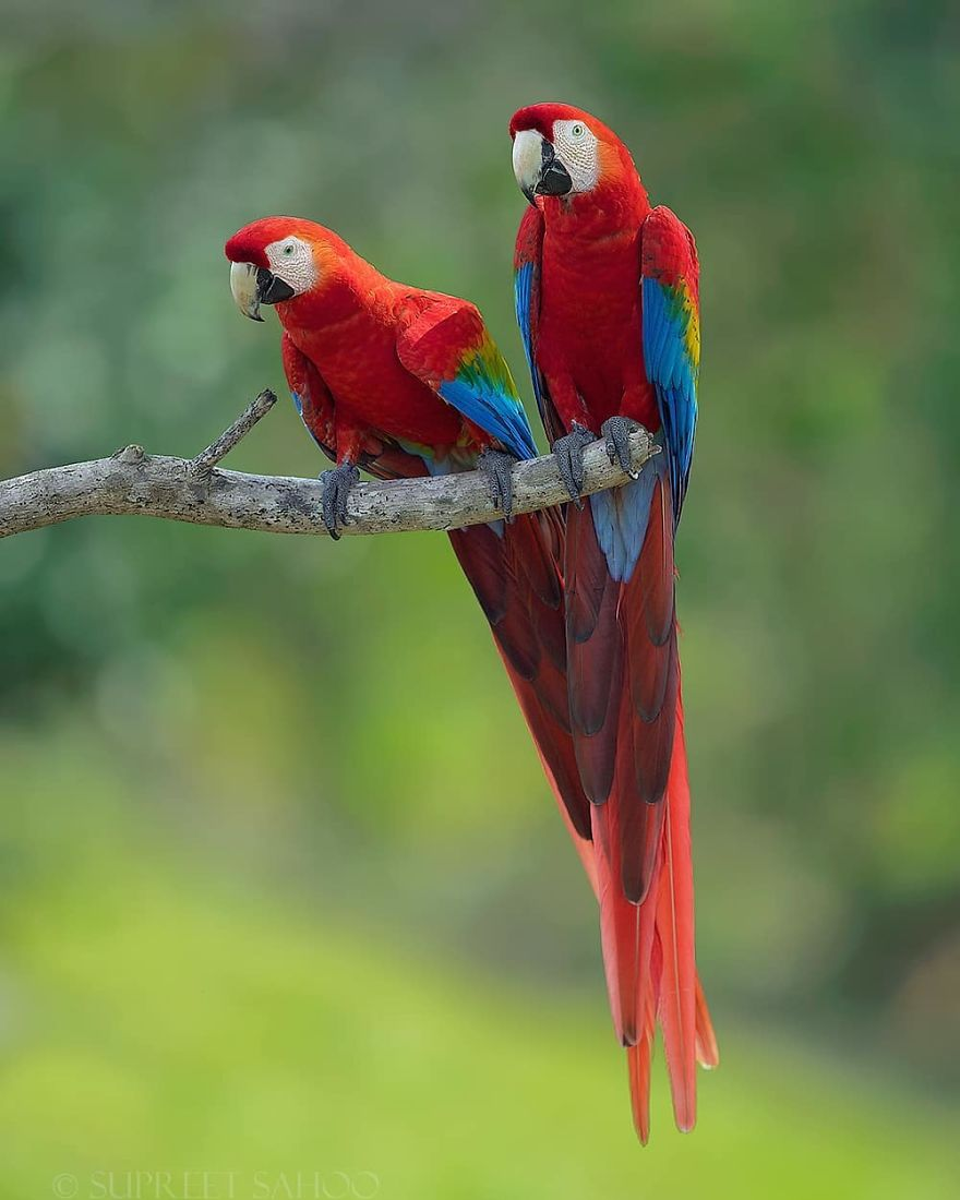 colorful bird photograph scarlet macaws by supreet sahoo