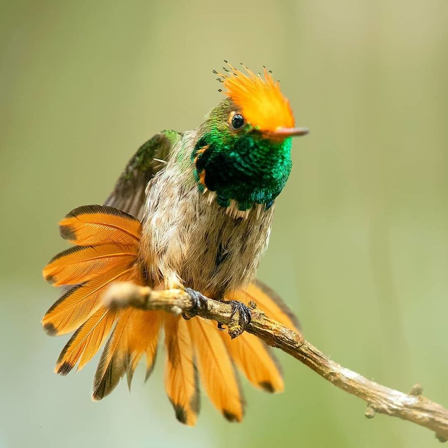beautiful bird photograph rufous crested coquette by supreet sahoo
