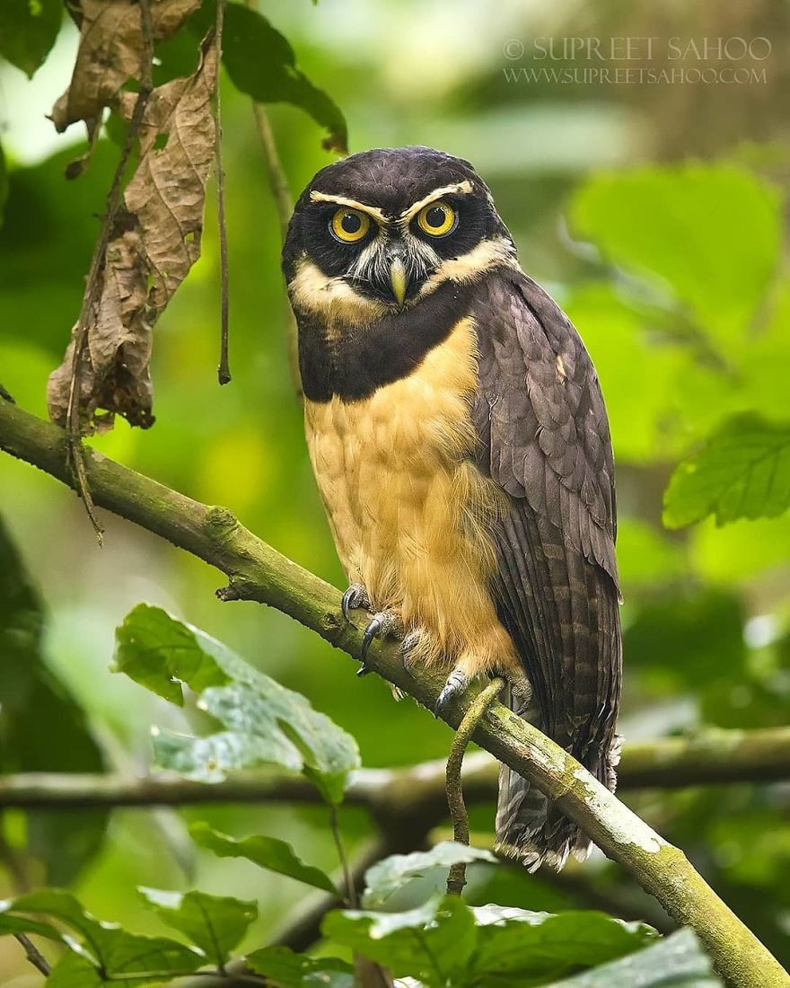 beautiful bird photograph spectacled owl by supreet sahoo
