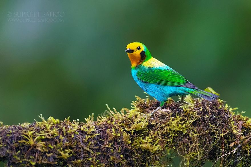 colorful bird picture coloured tanager by supreet sahoo