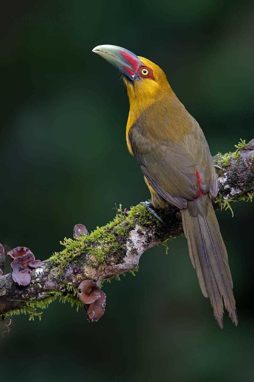 beautiful bird picture saffron toucanet by supreet sahoo