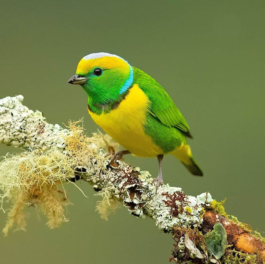 colorful bird image golden browed chlorophonia by supreet sahoo