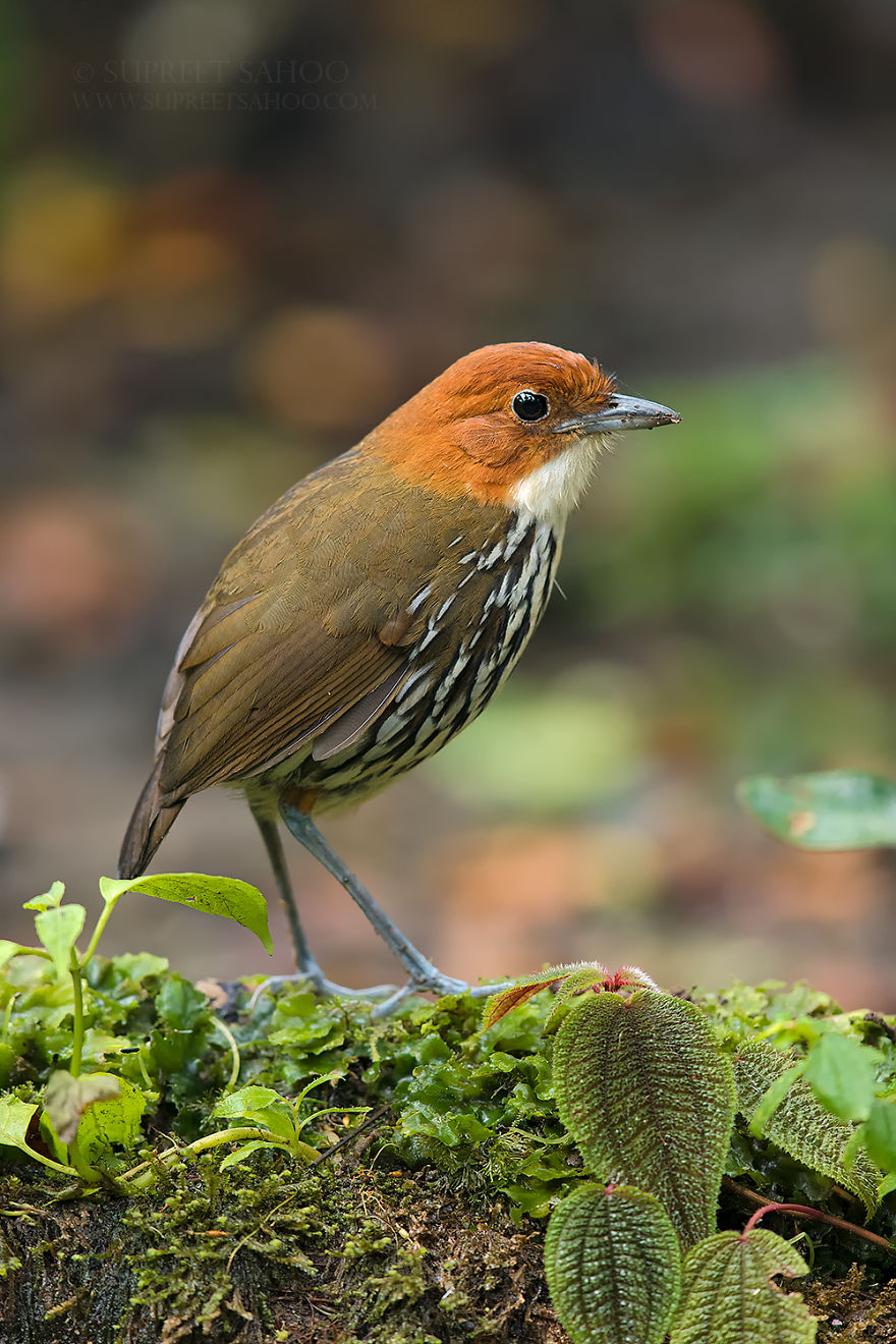 beautiful bird photograph chestnut crowned anpitta by supreet sahoo