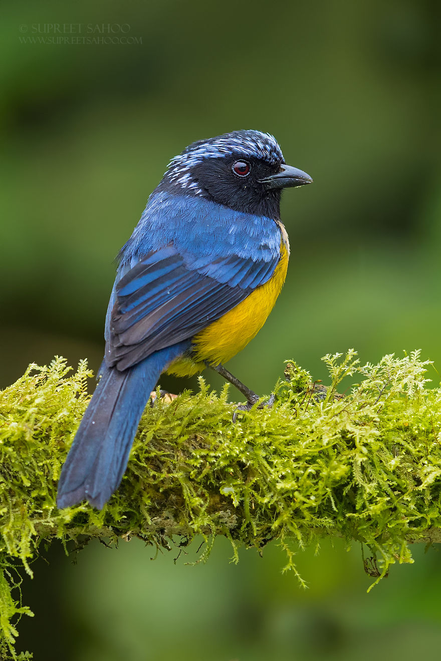 beautiful bird photo buff brested tanager by supreet sahoo