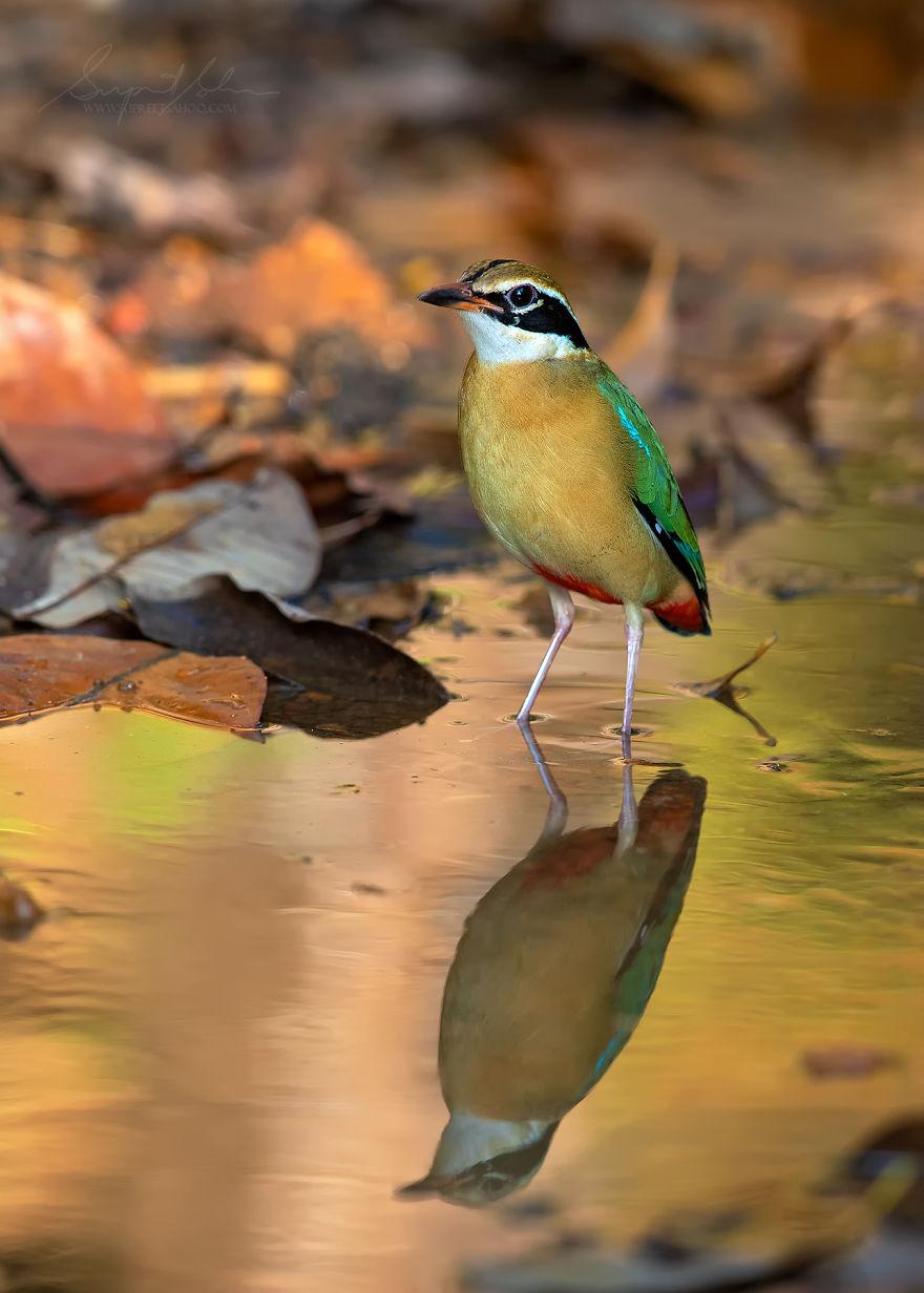 beautiful bird photograph indian pitta by supreet sahoo