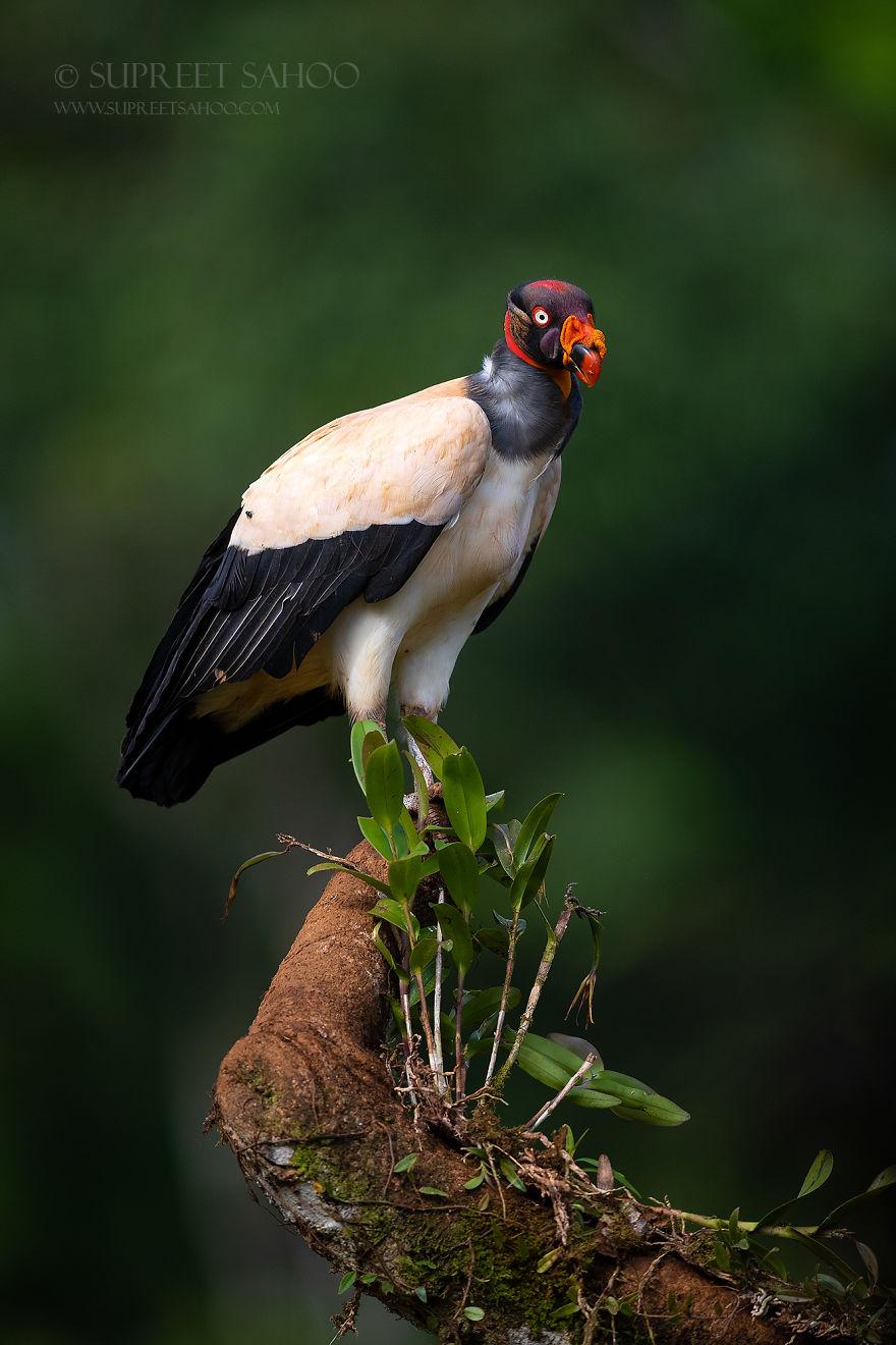 beautiful bird photograph king vulture by supreet sahoo