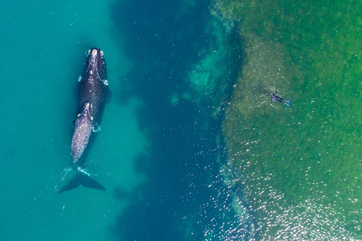 20 aerial drone photography whale swimmer dronefilmsproject