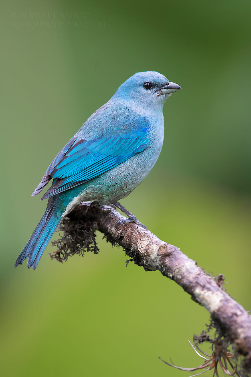 beautiful bird photograph azure shouldered tanager by supreet sahoo