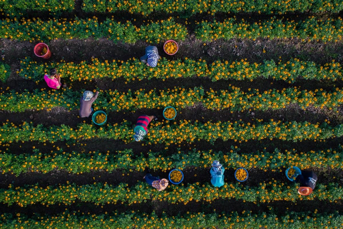 aerial drone photography marigold seksan saowarod