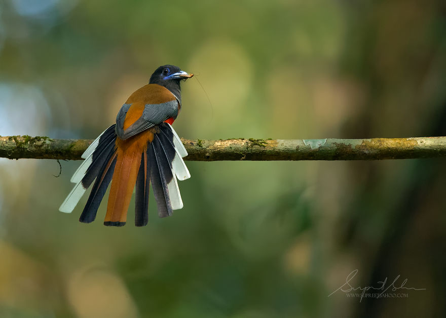 beautiful bird photograph malabar trogon by supreet sahoo