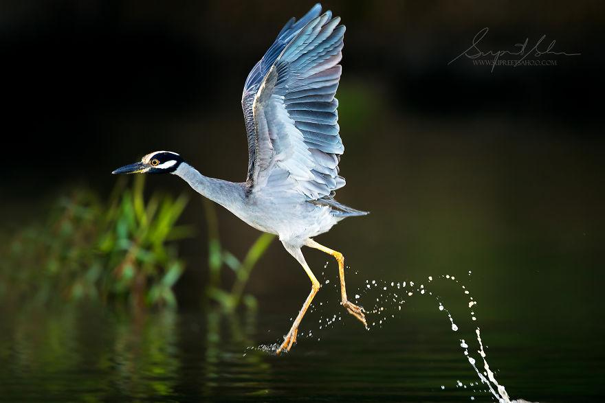 beautiful bird photo night heron by supreet sahoo