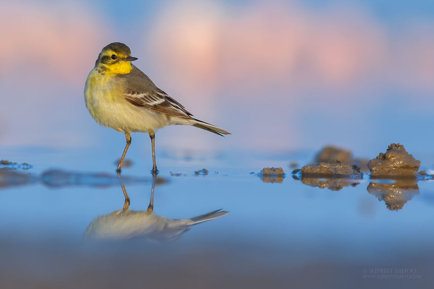 beautiful bird photograph citrine wagtail by supreet sahoo