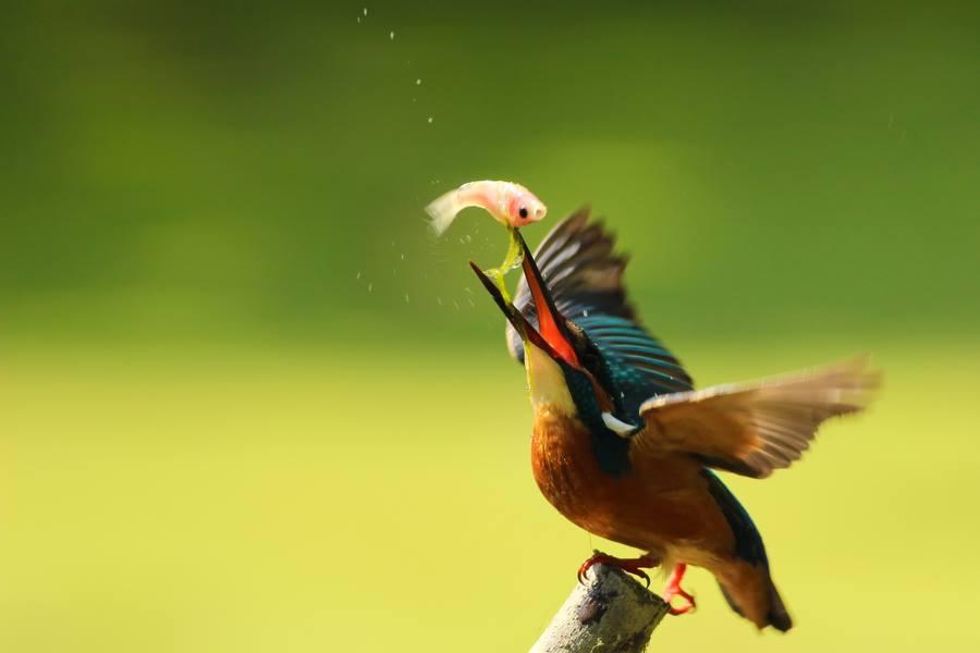 king fisher bird photo