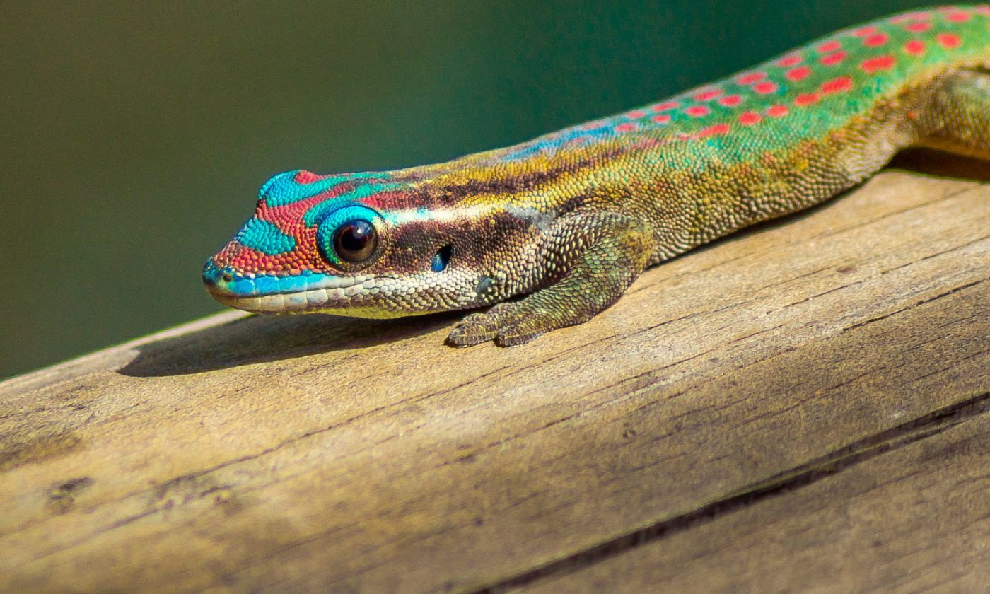 photography lizard by oliver koch