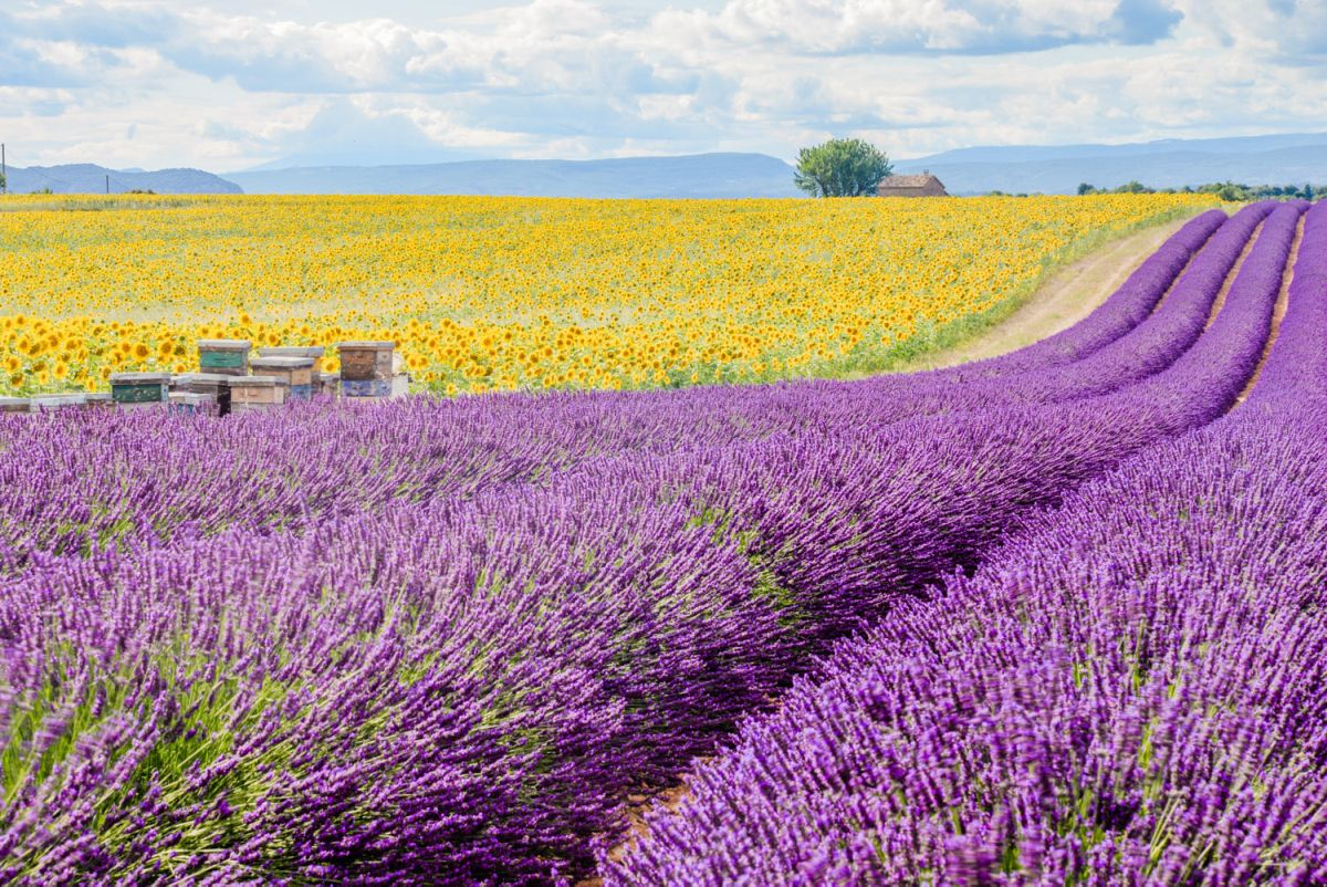 photography violet fields by linhking