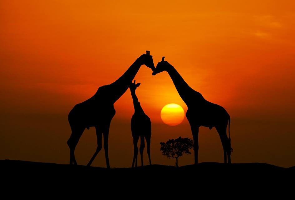 giraffee amazing by pieter