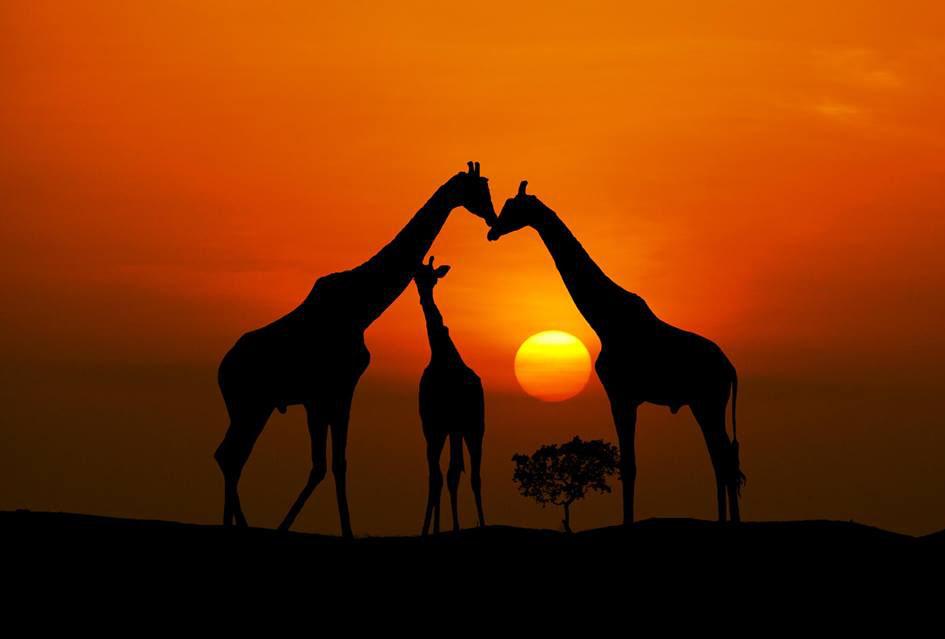 giraffee amazing