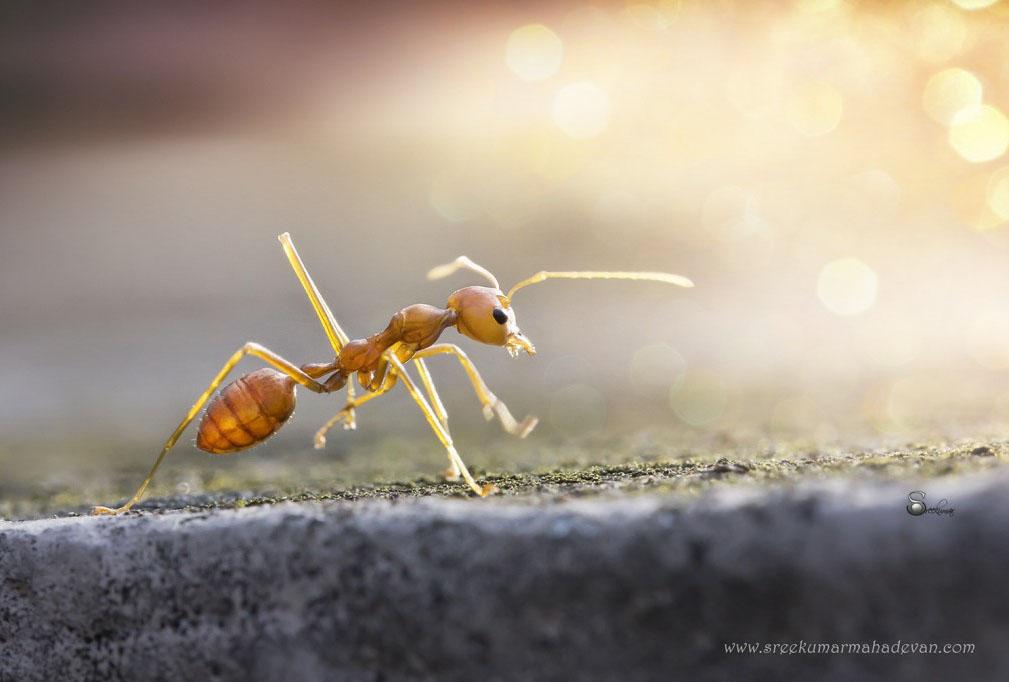 macro photography ant by mahadevan