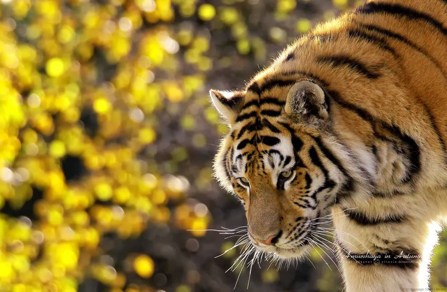 wildlife photography tiger by jehane