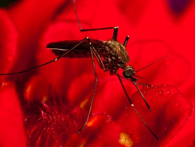 15 mosquito macro photography by john cogan