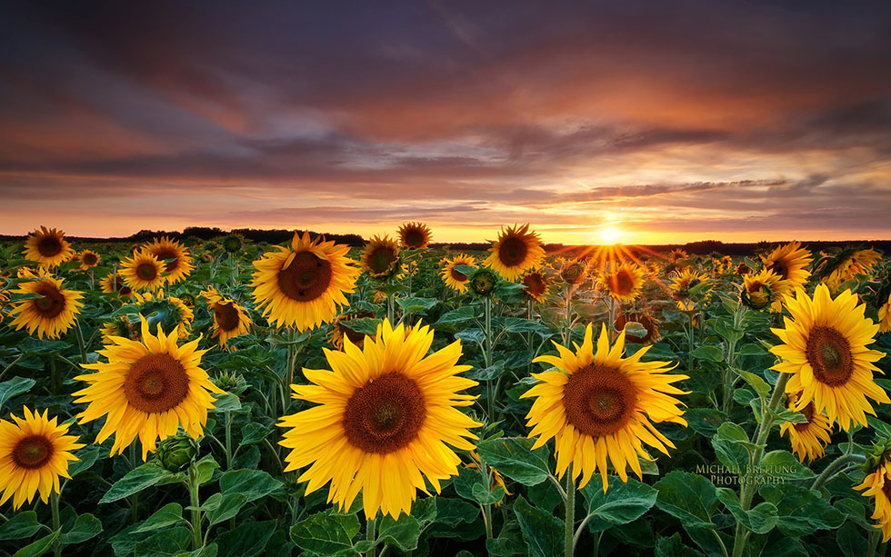 2 sunflower nature photography