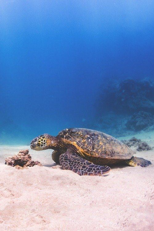 tortise underwater photography -  24