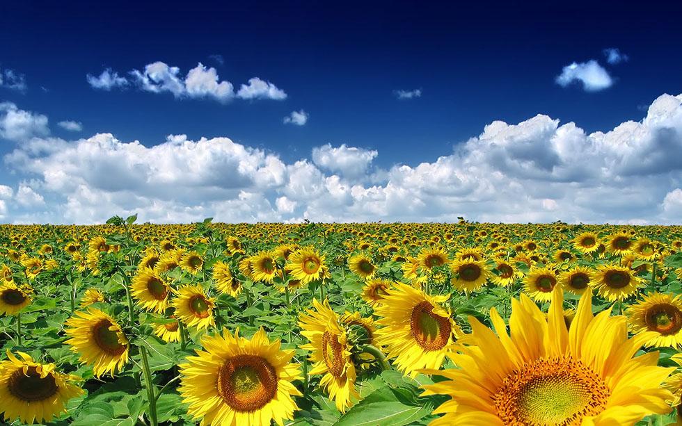 3 sunflowers nature photography