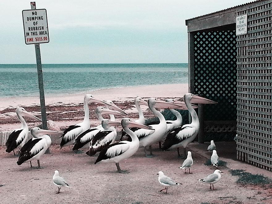 7 pelican best photography