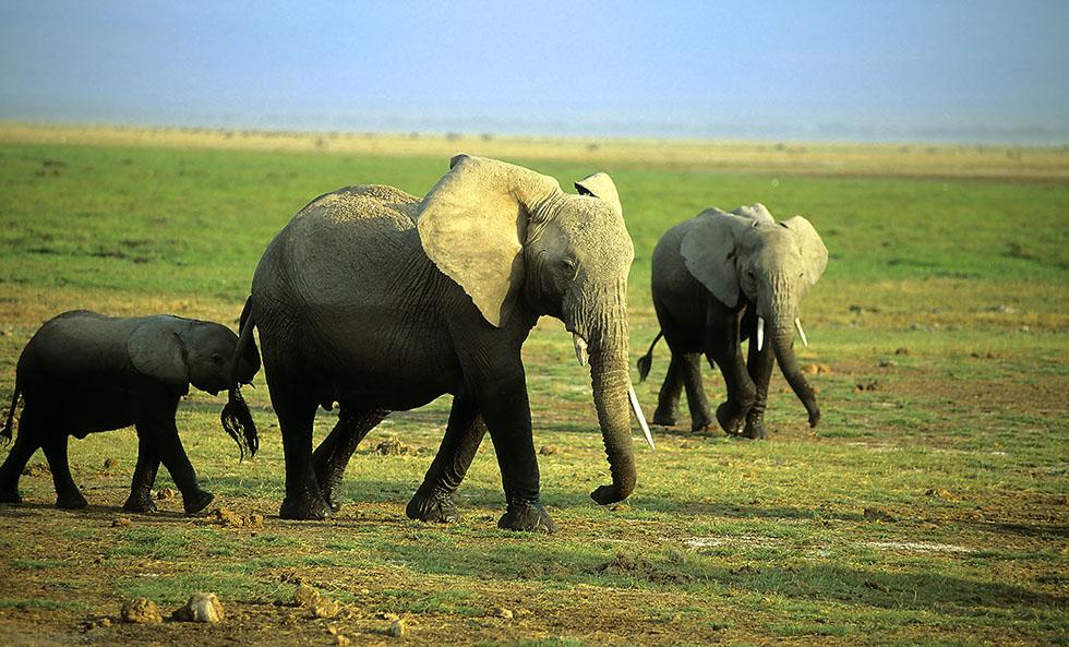 animal photography elephant