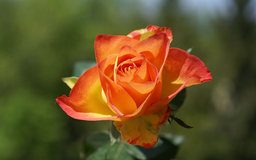 beautiful orange rose flower photography