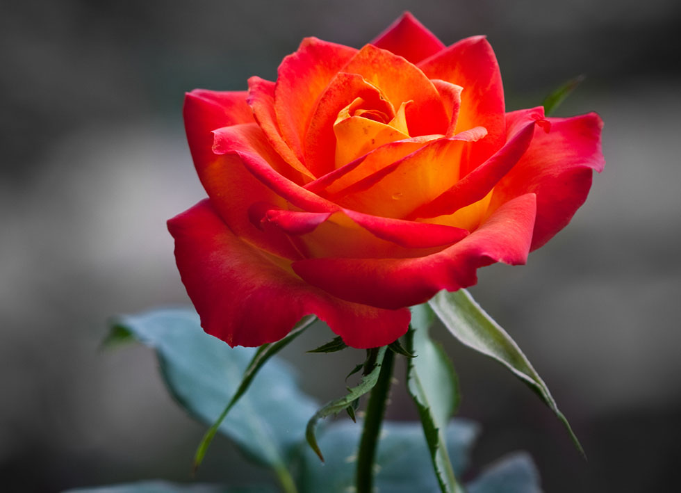 orange rose flower photography
