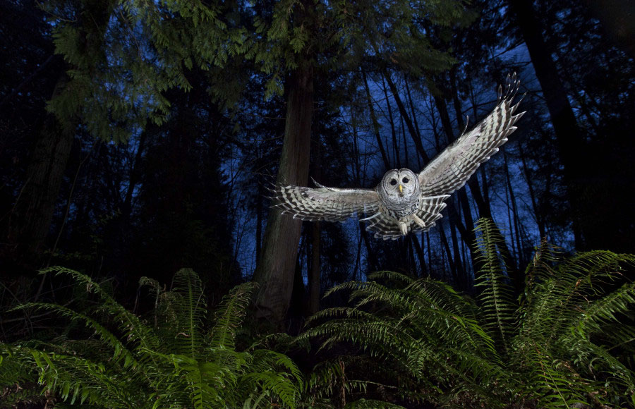 owl wildlife photography