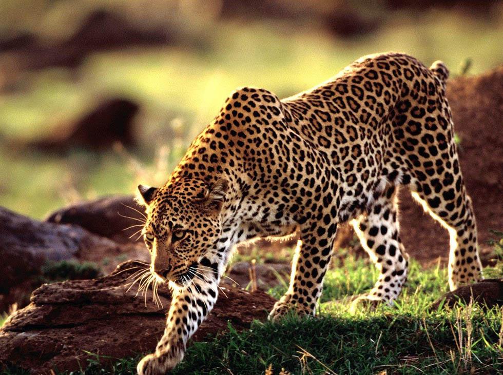 tiger animal photography