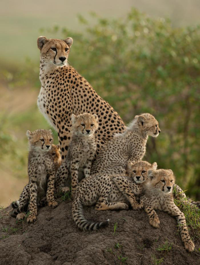 wildlife photography cheatah