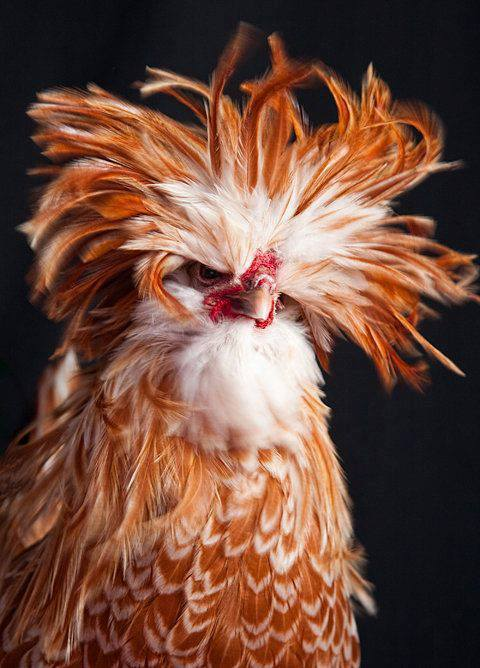 rooster fur bird photography