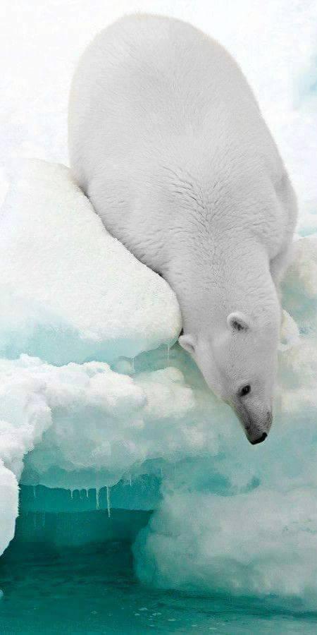polar bear wildlife photography